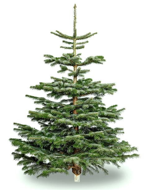 Nordmann Premium Ziemassvētku eglīte 1.6m-1.9m | E-Eglite.lv