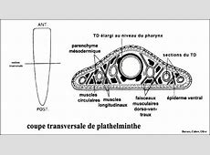Planche_Platyhelminthes