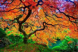 Maple leaf tree Japanese autumn season natural beauty hd ...