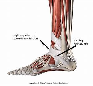 Extensor Retinaculum Foot Ligaments Pictures to Pin on ...