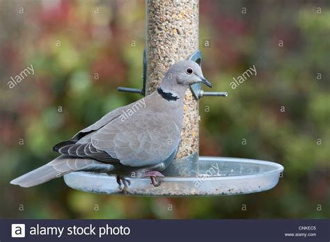 bird seed for mourning doves