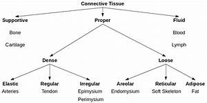 Connective Tissue Types  Is This Diagram I Made Correct