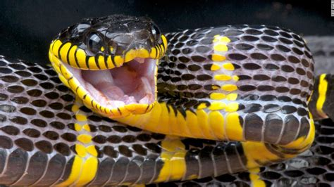 mildly venomous snake slithered loose   bronx
