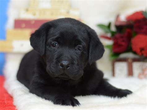 Robert La Dor Retriever Puppy For Sale Euro Puppy
