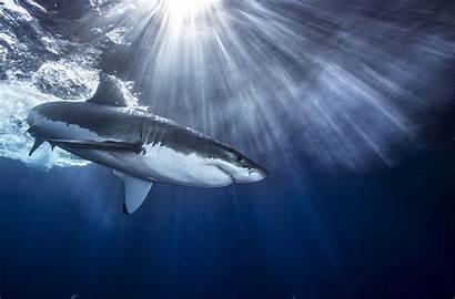 Shark Backgrounds Wallpapers