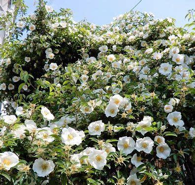 枯れ た 白い バラ の 花 言葉
