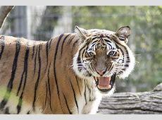 Malayan Tiger Fresno Chaffee Zoo