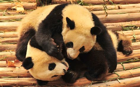Panda Wallpaper Pictures Hd Images Free Photos 4k For