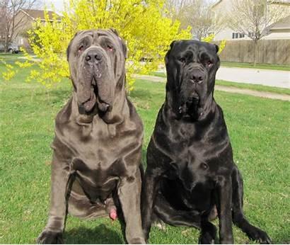 Mastiff Neapolitan Breed Italian Dog Dogs Breeds