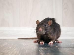 Comment Se Debarrasser Des Rats : comment se d barrasser des rats central extermination ~ Melissatoandfro.com Idées de Décoration