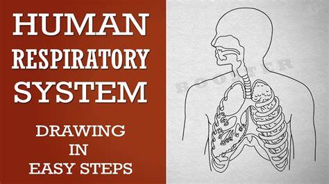 human respiratory sestem   class hd images anatomy