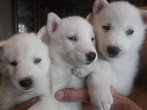 Baby White Husky Puppies | www.pixshark.com - Images ...