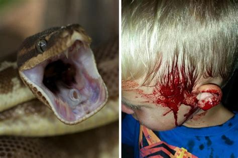 Python Bedding by Boy Found Covered In Blood After 10ft Python Bites His