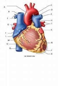 Quizlet Heart Anatomy