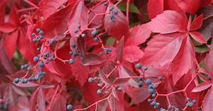 Wilder Wein Sorten : jungfernrebe wilder wein parthenocissus pflanzen pflege und tipps mein sch ner garten ~ A.2002-acura-tl-radio.info Haus und Dekorationen