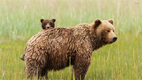 Animal Cubs Wallpapers - with cubs wallpaper animal wallpapers 25957