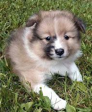 Pomeranian Sheltie Mix Puppy