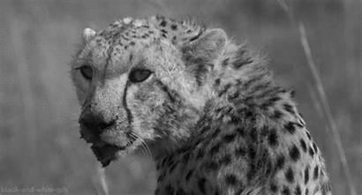 Animals Gifs Cheetah Creatures Leopard Raros Bonitos