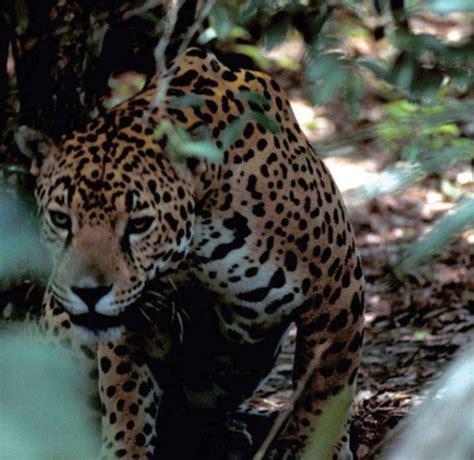 How Are Jaguars Endangered by Nm Az Habitat Designations For Endangered Jaguar
