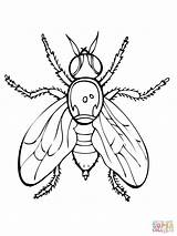 Fly Coloring Pages Fruit Firefly Insect Drawing Printable Guy Supercoloring Flies Fireflies Getdrawings Animals Results Insects Spider Getcolorings Categories sketch template