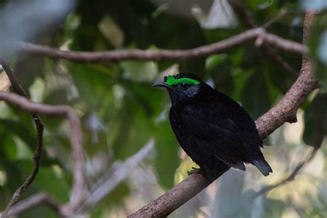 madagascar endemic birds