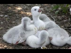 Trumpeter swan babies = cute and fluffy | Baby Animals ...