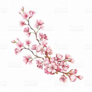 Drawn cherry blossom illustration - Pencil and in color ...