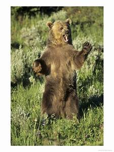 Angry Black Bear Standing