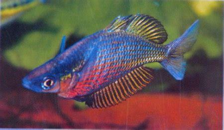 sepik rainbowfish glossolepis multisquamatus