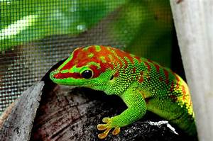 The Gecko Zone : The Giant Day Gecko