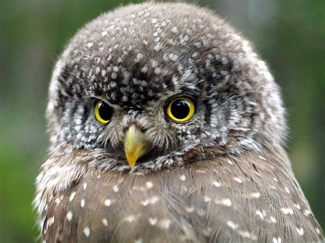 pygmy owl these are mostly small owls some of the