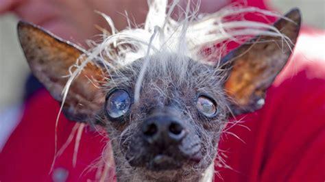 worlds ugliest dog     canine competitors