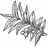 Pecan Tree Texas Coloring Symbols Pages Clipart Sandbox State Drawing Pie Plant Colouring Nut Clipartpanda Tx Tpwd Grows Someone Say sketch template