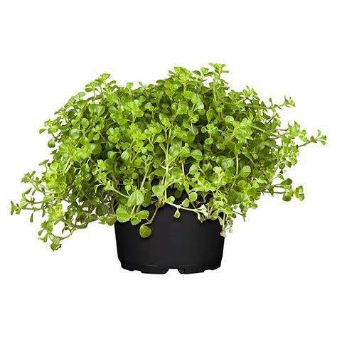 Zimmerpflanzen Datenbank Kanonierblume by Kanonierblume Pilea Depressa Topfgr 246 223 E 12 Cm