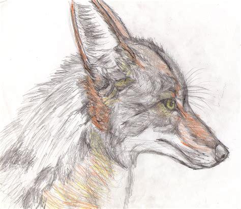 Coyote Drawings