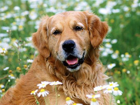 Golden Retriever Dogs And Puppies Golden Retriever Wallpaper