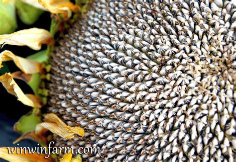 Bigs Pumpkin Seeds Bulk by Sunflower Seeds Pictures To Pin On Pinterest Thepinsta