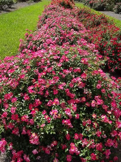 Drift Roses Pink Plants Bloom Landscape Ground