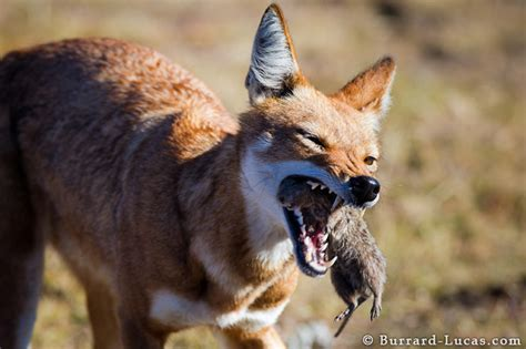 wolf  rat burrard lucas photography