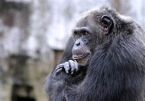 Nature Over Nurture: Chimpanzees' Intelligence Comes from ...