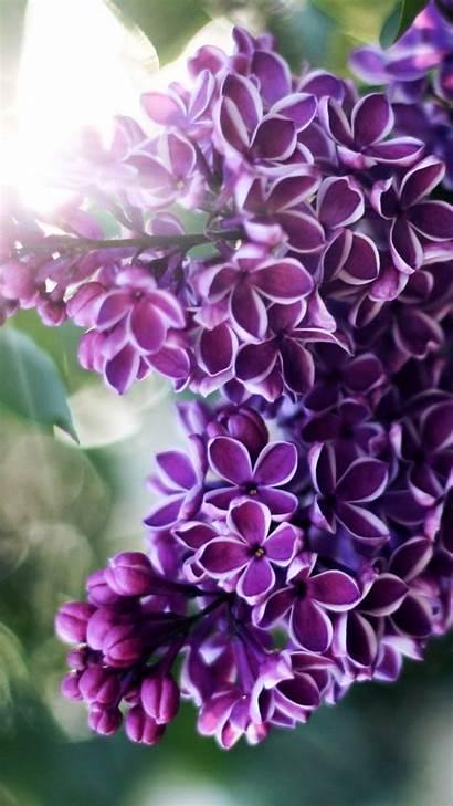 Lilac Twig Hues Purple Leaves 1080 1920