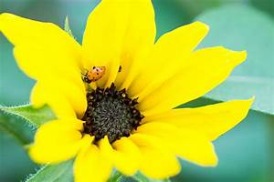 Red Ladybug In A Sunflower    Macro Vision  Flowers  Bugs
