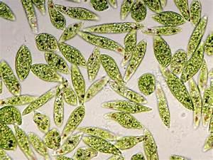 Living Protozoa Euglena Gracilis Showing Flagella  Stigma