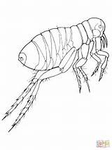 Flea Realistic Coloring Pages Fleas Drawing Printable Science Insects Supercoloring Results sketch template