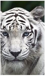 White Tiger wallpapers, Animal, HQ White Tiger pictures ...