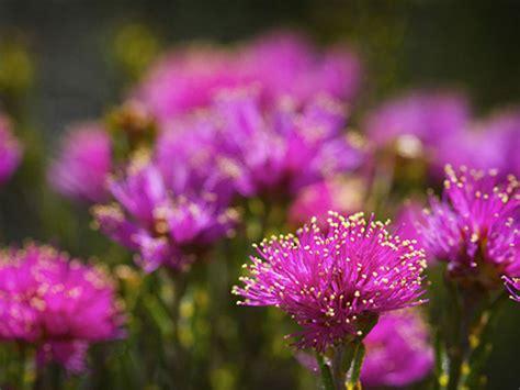 wildflowers perth wildflower australia western national tour park river flower fitzgerald tours explosion bloom australias cape