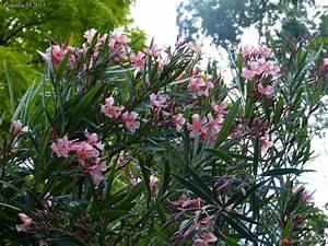 Laurier Rose Entretien : laurier rose nerium oleander culture entretien ~ Melissatoandfro.com Idées de Décoration