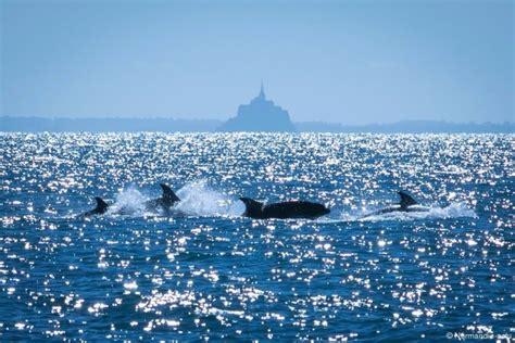 pollution aux pcb et au mercure dans la manche les dauphins de normandie en danger actu fr