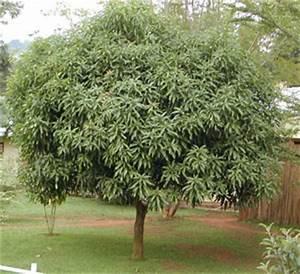 Planter Noyau Mangue : plantation noyau de mangue au jardin forum de jardinage ~ Melissatoandfro.com Idées de Décoration