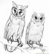 Owl Coloring Pages Drawings Owls Pencil Drawing Printable Bird Draw Animal Sketch Birds Zeichnen Pile Animals Sketches Kunst Anime Drawingthemotmot sketch template